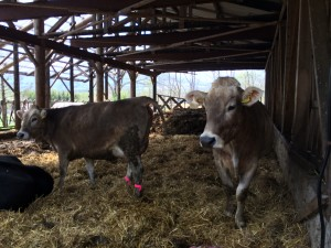 Brown Swiss milk cows.